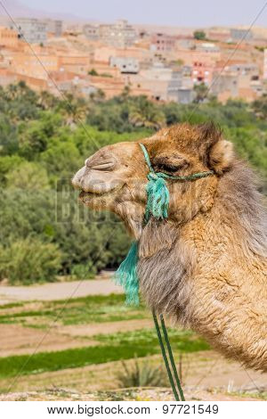 Camel waiting for tourists near Todgha Gorge, Morocco