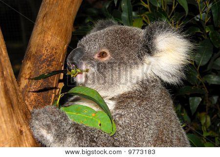 Young Koala Bear