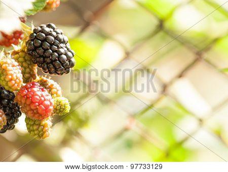 Ripe black berry summer cluster