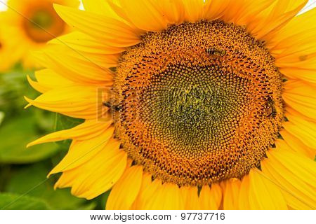 Sunflowers Head In Bloom.