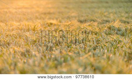 Green Fields In Germany