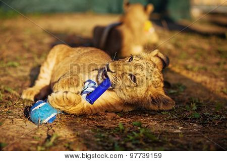 two lion cubs cuddling in nature and plaing with toy