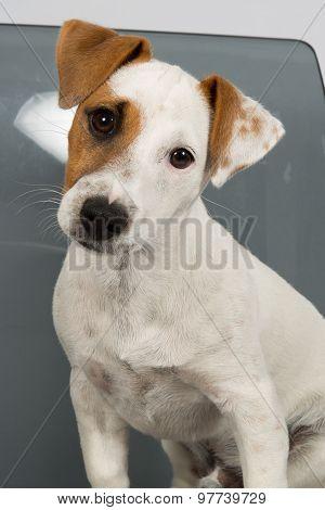 Jack Russell Terrier In Front Of Grey Background