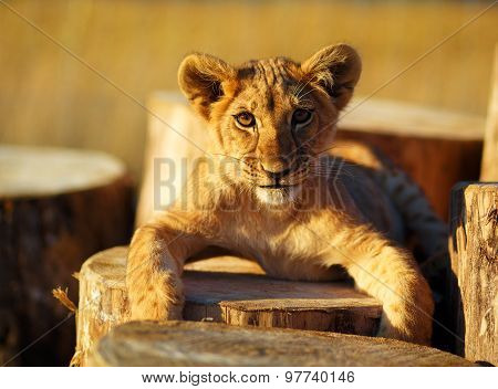 Lion cub in nature  and wooden log. eye contact