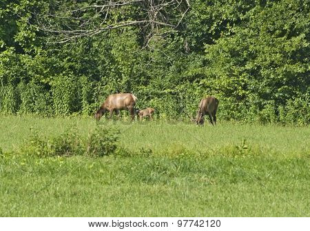 Elk Family (bull, Cow And Calf)