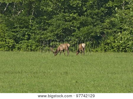 Elk Family (bull And Cow)