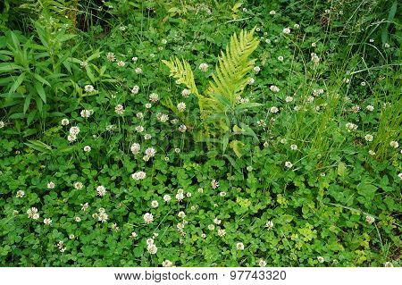 Fern Among Clover