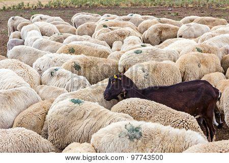 Black Goat Is Among White Sheep.