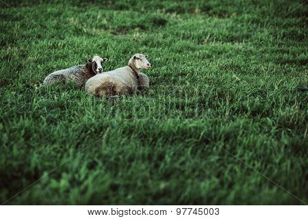 two sheep resting on lawn
