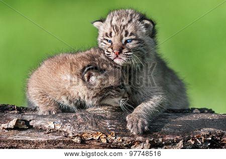 Baby Bobcat Kit (lynx Rufus) Comforts Sibling