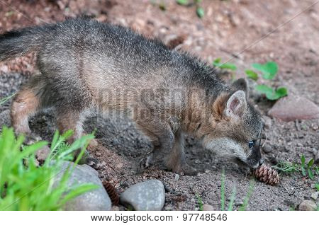 Grey Fox Kit (urocyon Cinereoargenteus) Sniffs Pinecone
