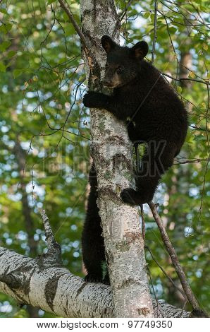 Young Black Bears (ursus Americanus) In Tree