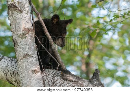 Young Black Bear (ursus Americanus) Sits In Tree