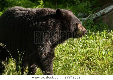 Adult Female Black Bear (ursus Americanus) Stands In Early Morning Light