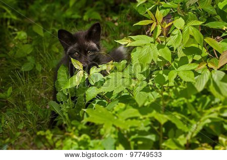 Young Silver Fox (vulpes Vulpes) Hides Behind Bush