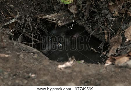 Young Silver Fox (vulpes Vulpes) Hides In Den