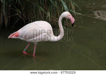 Greater Flamingo (Phoenicopterus roseus). Wild life animal.