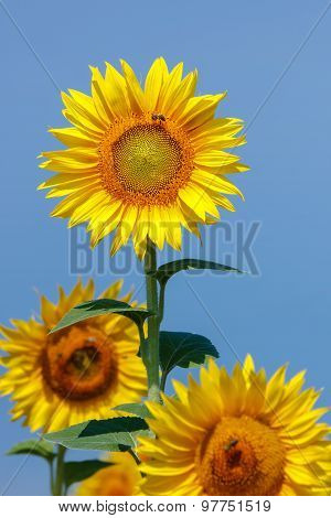 Sunflower and bee against blue sky