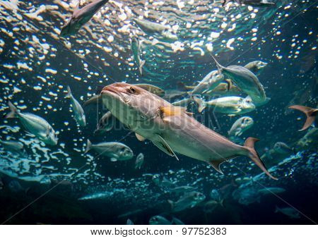 Underwater shoot of a fish with open mouth fining in blue clear water
