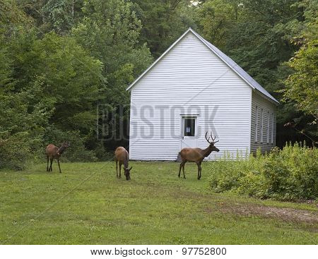 Elk Grazing Around The Historic Beech Grove School Built In 1903