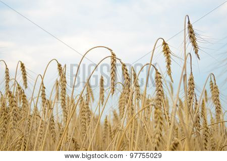 Golden Ripe Wheat Ears Against the Blue Sky. Harvesting Concept