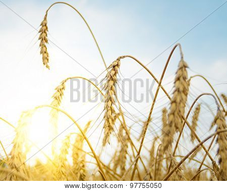 Golden Ripe Wheat Ears Against the Blue Sky and the Sun. Harvesting Concept