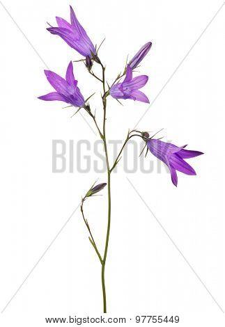 Spreading bellflower isolated on white background