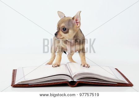 cute puppy chihuahua reading book