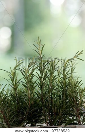 Plant, ingredient. Rosemary on the table