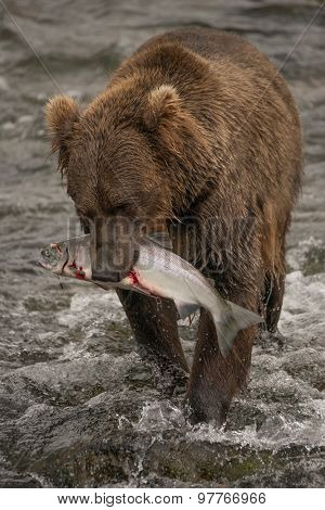 Brown Bear Walks With Salmon In Mouth