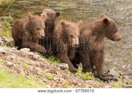 Four Brown Bear Cubs Beside Brooks River