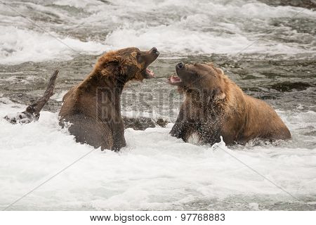 Two Brown Bears Roaring At Each Other