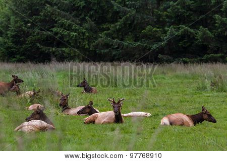Elk In California