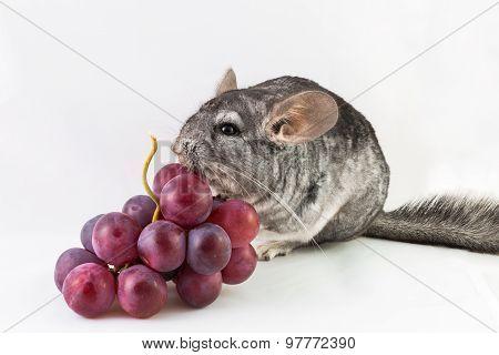 Chinchilla eats grapes