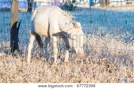 Tired Sardinian Donkey