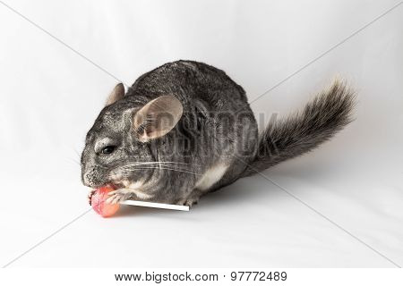 Chinchilla eating a lolly