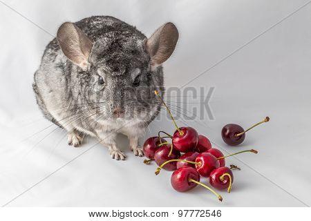 Chinchilla with cherries
