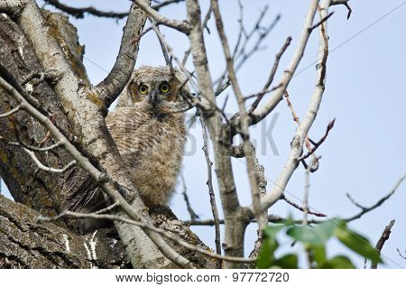 Young Owlet Making Direct Eye Contact With You