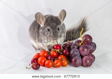 Chinchilla with fresh food