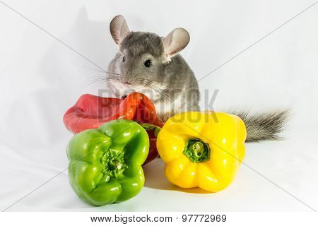 Chinchilla and peppers