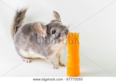 Chinchilla licking