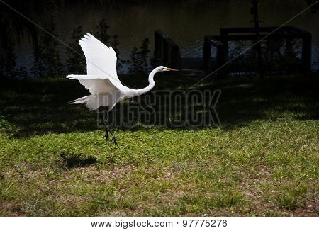 Portrait of a great white egret flies with nature background