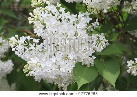 Beautiful branch of white lilac.