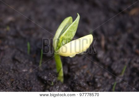Young Green Leaves Of Garlic Growing In The Ground. Farm Vegetable