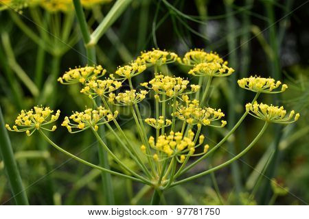 Close Up Of Fennel Flower.