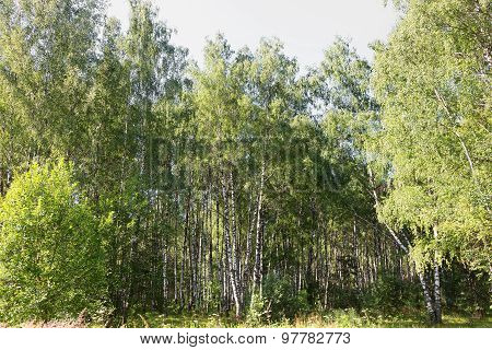 Authentic Beautiful Summer Landscape Birch Grove On A Clear Sunny Day