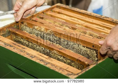 many honeycombs full of beeswax