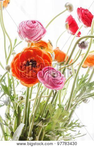 Colorful persian buttercup flowers (ranunculus)