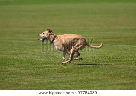 Dog running happily across green lawn