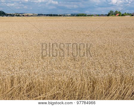Partially harvested field of rye